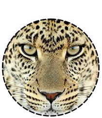 Un léopard vous guette...restez en veille !